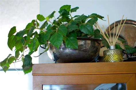 plants easy to grow indoors 10 easy to grow indoor plants in india interior design ideas