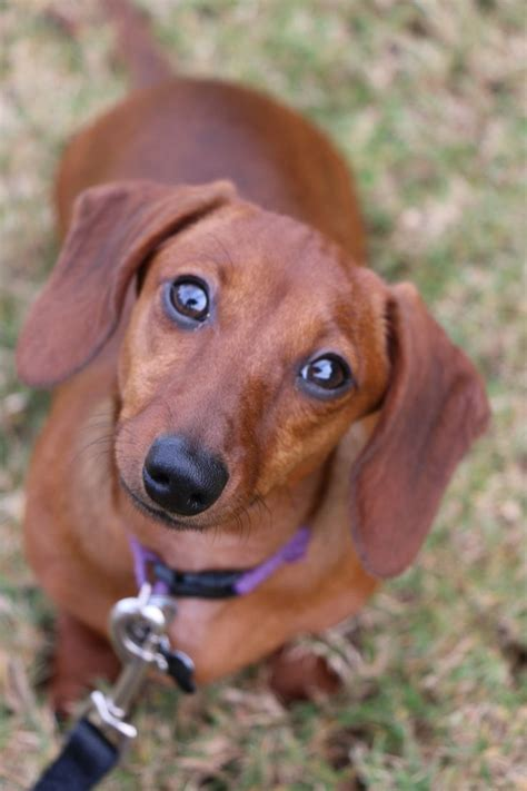 7 Facts On Dachshunds by Best 25 Ideas On Dachshund