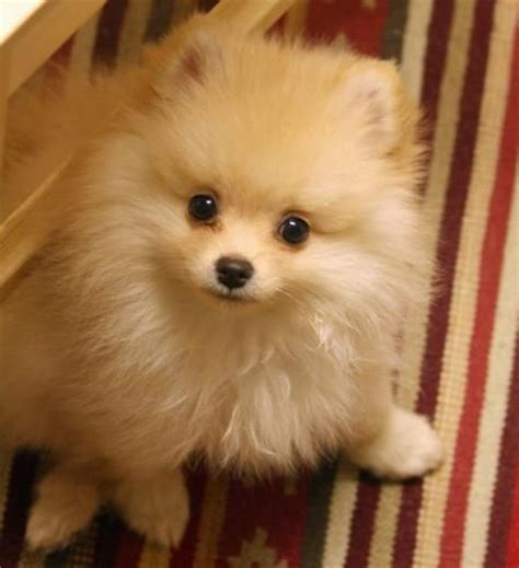 pomeranian faces 14 reasons pomeranians are the worst indoor breeds of all time