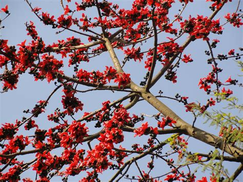 Common Backyard Trees Today S Flowers The Silk Cotton Trees Terra Farmer