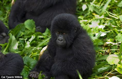 amazon rainforest animals gorilla amazon rainforest animals gorilla amazon rainforest