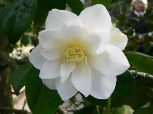 Images Of Magnolias Flowers - file camelia japonica triphosa 2006 04 8 194 jpg