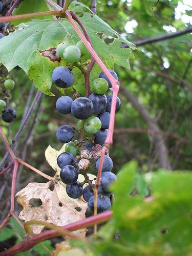 Do You To Use Organic Grapes For A Detox by The Capital Find Us Now At Thenaturalcapital