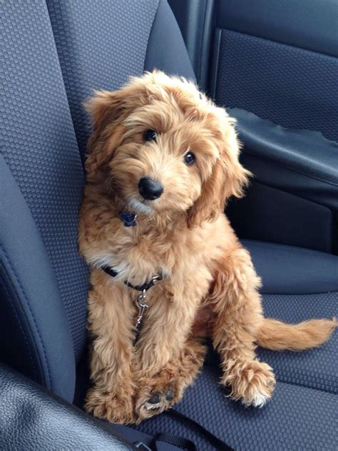 english goldendoodle rocco fb1 miniature golden doodle puppies pinterest