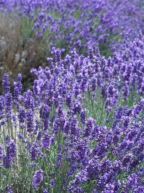 varieties of lavender for the garden diy