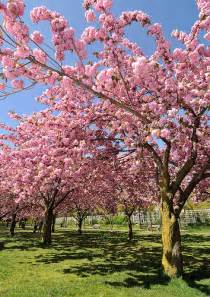 cherry trees in bloom flickr photo sharing