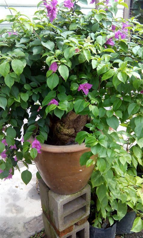 belajar bertanam tanaman bonzai bunga kertas