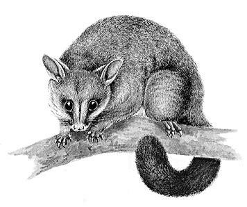 opossum clipart free opossum clipart