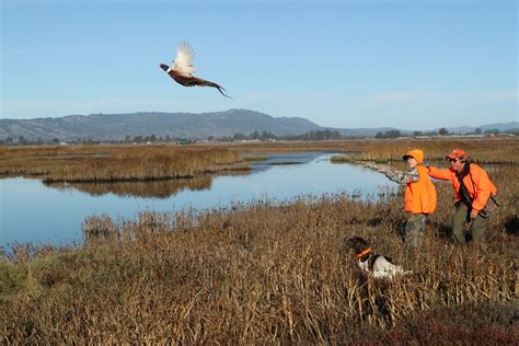 how to a to pheasant hunt pheasant all upland