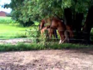 esel beim decken wallach besteigt pony