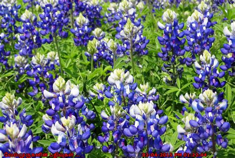 Tx Search Bluebonnets Aol Image Search Results