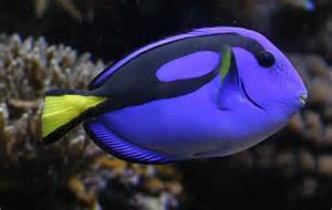 Yellow And Blue Fish Blue Fish Yellow Tail Jpg