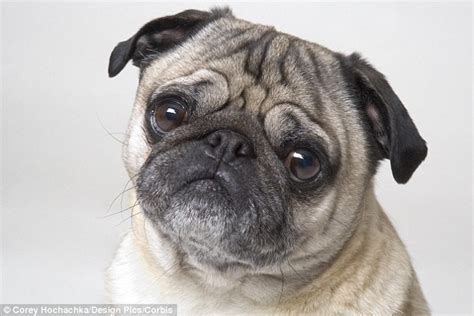 pug insurance cost vet fees hit 163 810 on average for uninsured pets but some