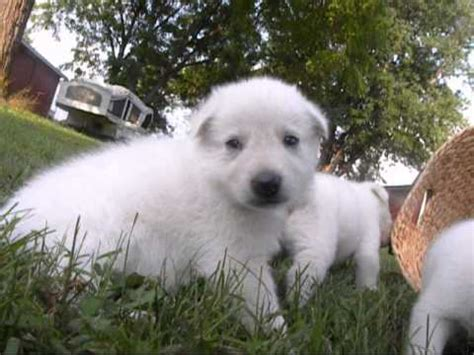 white german shepherd puppies michigan 2012 02 17 white german shepherd puppies for sale bellevue mi