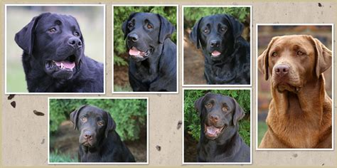 home amadeuze labrador breeder south africa amadeuze