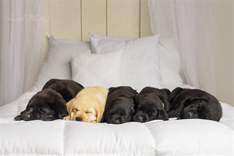 newborn lab puppies puppy newborn lab puppies by symes
