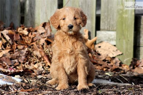 doodle puppies for sale in pa goldendoodles for sale in pa www proteckmachinery
