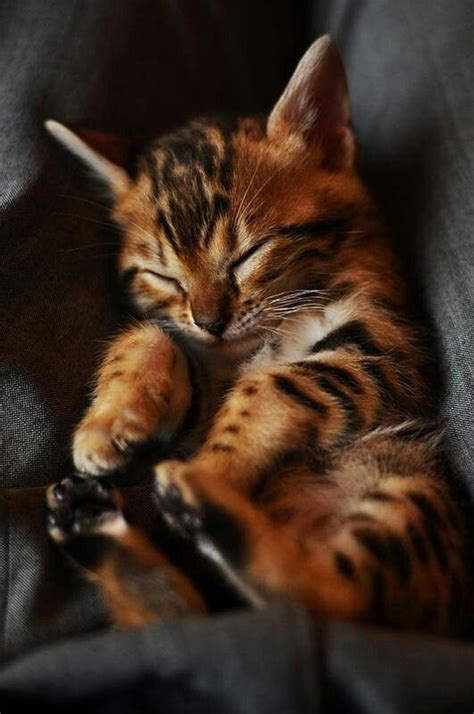 life expectancy in bengal cats annie many