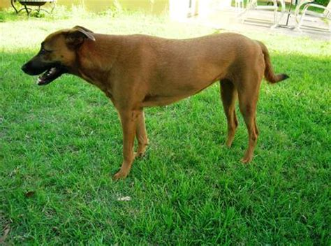 rhodesian ridgeback pug mix ridgeback terrier mix breeds picture