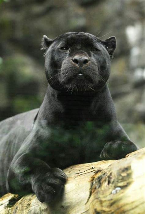 imágenes jaguar negro te gustan las panteras negras pasate taringa