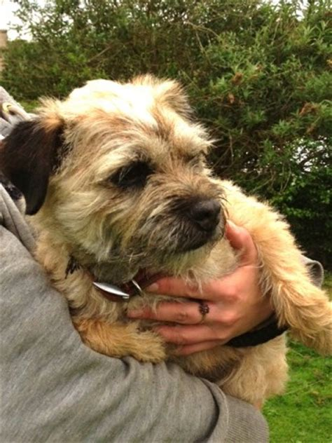 border terrier puppies for adoption huck 7 year border terrier for adoption