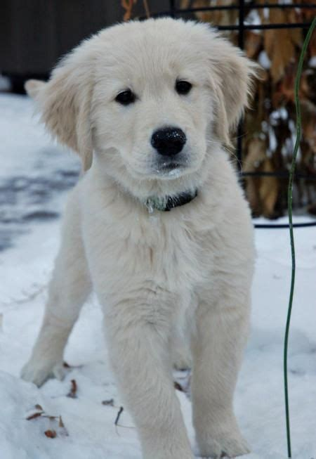 snow white golden retriever 242 best images about golden retrievers on the
