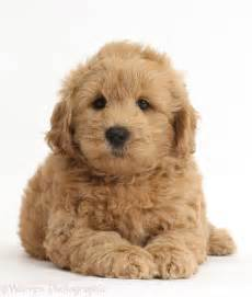doodle puppy f1b goldendoodle puppy photo wp37274