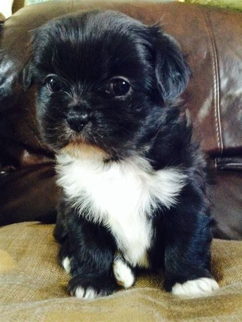 shih tzu x chihuahua for sale shih tzu x chihuahua pups for sale tiverton pets4homes