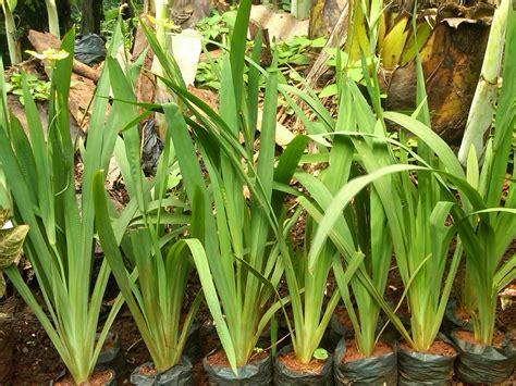 jual tanaman hias airis pohon airis murah tukang taman