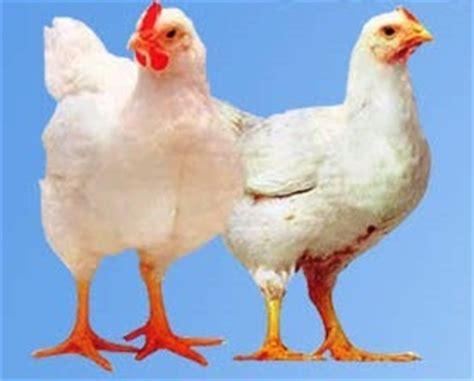 Pasaran Bibit Ayam Potong budidaya ayam potong broiler sniperoze