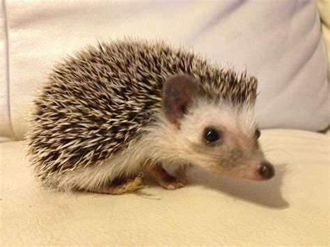 pygmy hedgehog pygmy hedgehog for sale milton keynes