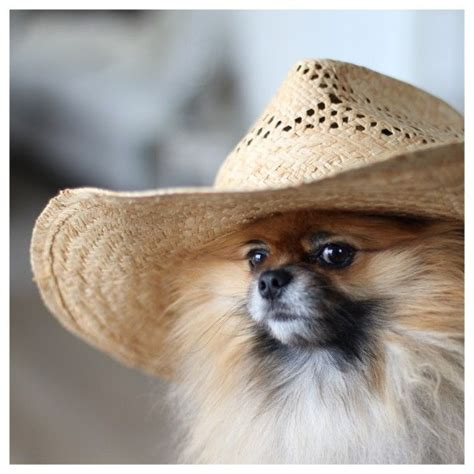 teacup pomeranian how big do they get my pomeranian bamse are model for the day for my summerhat