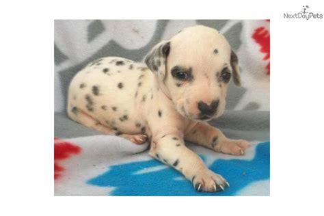 dalmatian puppies for sale in florida dalmatian puppy for sale near space coast florida 17aa19dc b951