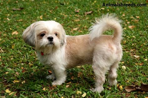 shih tzu photos shih tzu pictures puppies information temperament characteristics rescue