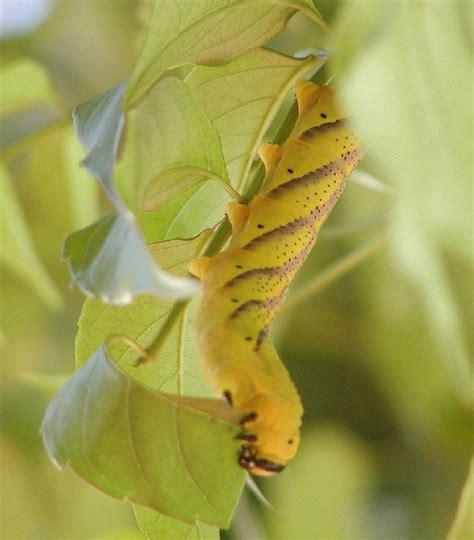 sfinge testa di morto entomologia agraria sfinge testa di morto acherontia