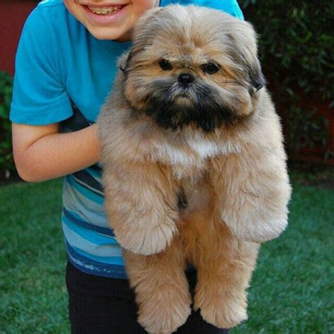 large shih tzu 980 best shih tzu and doodles images on shih tzus animals and puppies