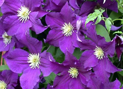 tropical vines perennial flowering vines annual vines
