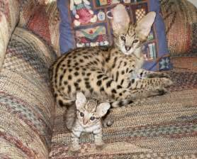 serval cats african serval cat care and serval cats as