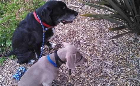 how to introduce two dogs how to slowly introduce two dogs that will live together pets potential