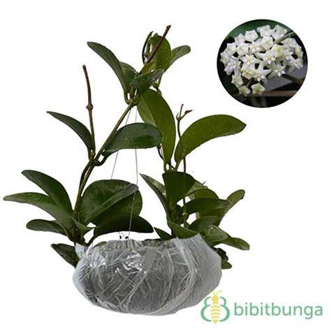 Tanaman Hias Violces And White tanaman hoya putih white hoya jual tanaman hias