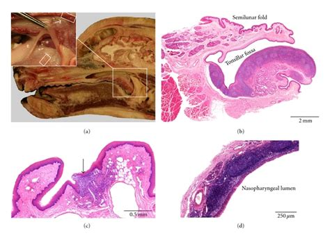 anatomical localization  histological characteristics   canine  scientific