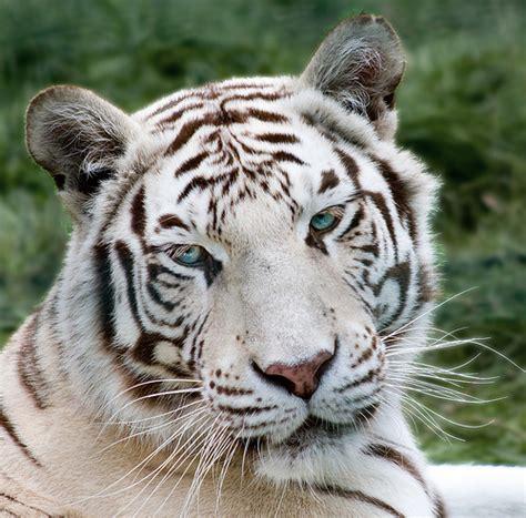 Tiger White white tiger futurepets
