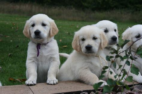 golden retriever puppies minneapolis golden retrievers washington breeds picture