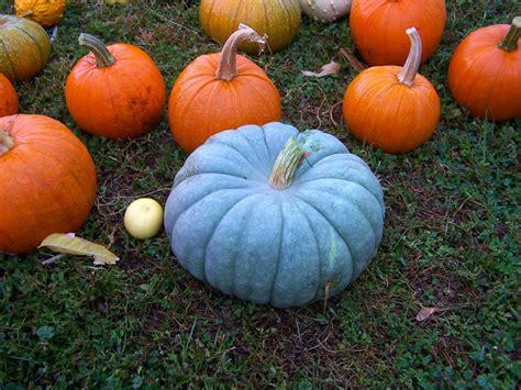 pumpkins australia heirloom orange is beautiful now beautifulnow is
