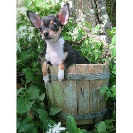 free chihuahua puppies in indiana ppwv chihuahuas chihuahua breeder in logansport indiana