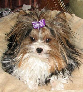 piebald yorkie my next no shedding with yorkie s she is a special breed a biewer terrier