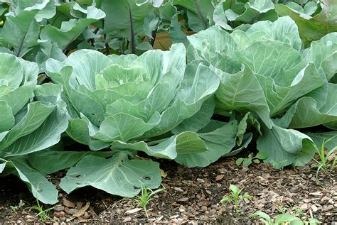 Winter Root Vegetable Recipes - cabbage growing quick tips harvest to table