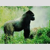 Mountain Gorilla Habitat   660 x 495 jpeg 83kB