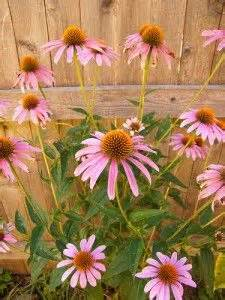 inexpensive perennials that grow and spread quickly