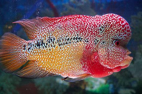 Han Decor 2 In 1 Alat Pembersih Sisik Ikan Pisau ucok aquarium 7 10 ikan hias air tawar yang sempat populer
